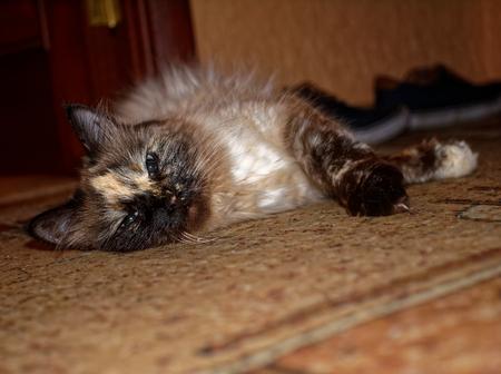 Neva masquerade cat lying on the carpet, Moscow Stock Photo