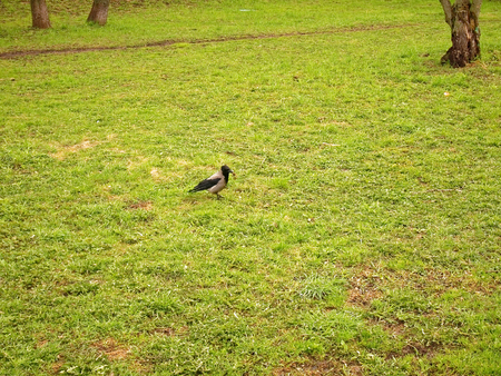 Crow walking on grass in the spring in Moscow district Teply Stan Stock Photo