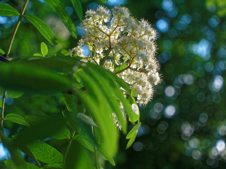 sorb: flowers of mountain ash in the yard of Moscow , southwest district