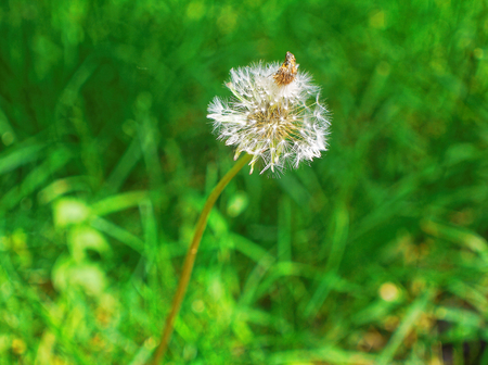 dandelion grown in the Moscow court in the summer, the South-Western suburbs