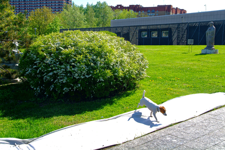 mini jack: small dog walking in a Moscow Park in spring, Crimean embankment