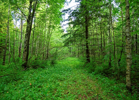 cleared: a cool summer morning in the Russian forest, Tula oblast