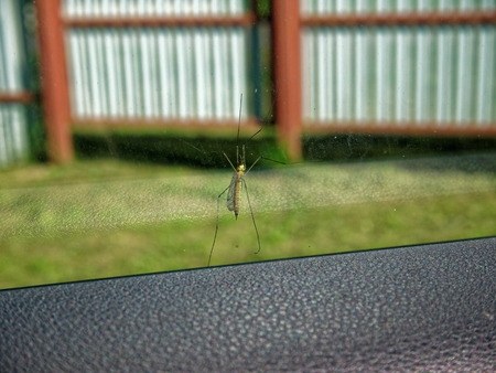 a large mosquito on the windshield of a car in summer, Russia Stock Photo