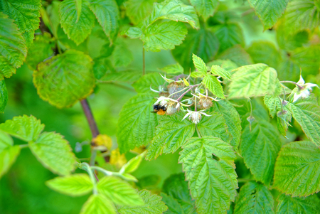 bumblebee on the flowers of raspberries in the summer, Russia
