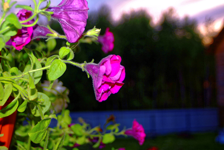 Petunia flowers in pots in the evening, Russia