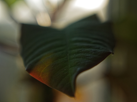 the leaves of the plant schlumbergera macro, Moscow Stock Photo
