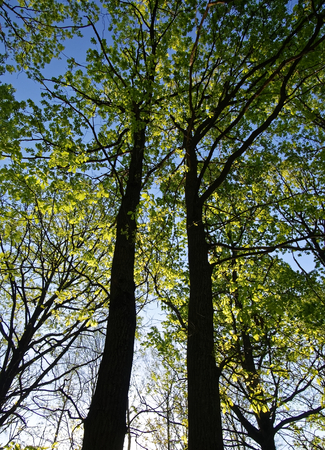 trees with young leaves against the blue sky, Moscow
