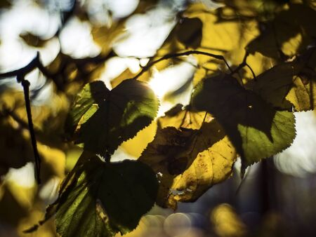 sunlight through the leaves of the lime trees in the fall 版權商用圖片