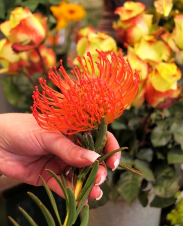 protea flower:  Red protea flower in a hand