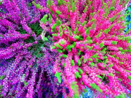 heather: Heather autumn background Stock Photo