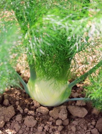 Baby Fennel plant on soil Archivio Fotografico
