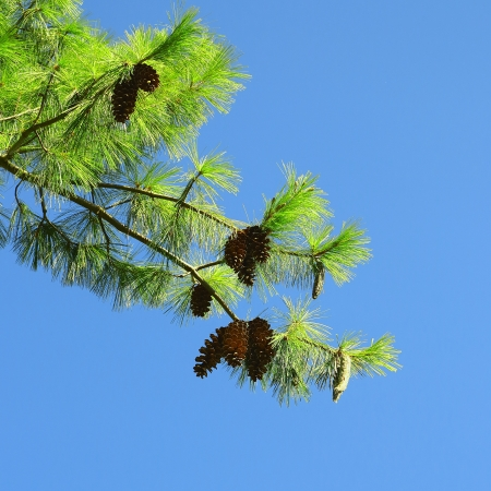 pine branch: Pine branch with fresh pine cones Stock Photo