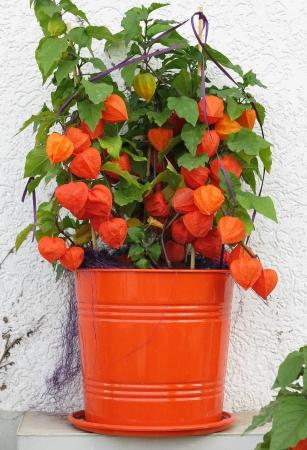 Autumn plant Physalis alkekengi in orange pot Archivio Fotografico