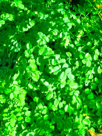Burnet herb – similar to parsley- in the garden