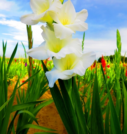 White blooming gladiolus in the field photo