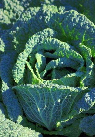 savoy cabbage: Savoy cabbage growing on soil Stock Photo