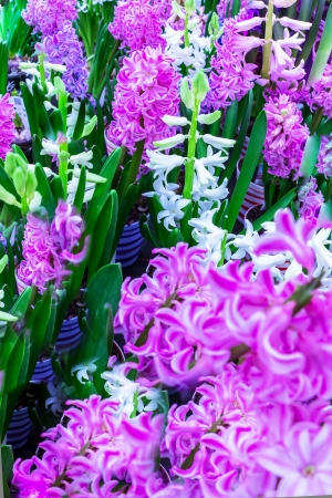 asparagus bed: White and purple hyacinths in flower pots Stock Photo