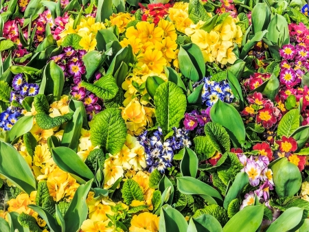 primroses: Colorful primroses in flower bed