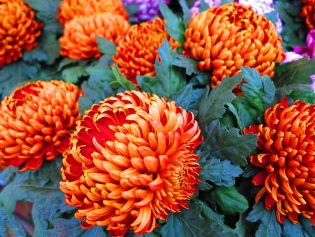 pompon: Red and orange pompon Chrysanthemums  Stock Photo