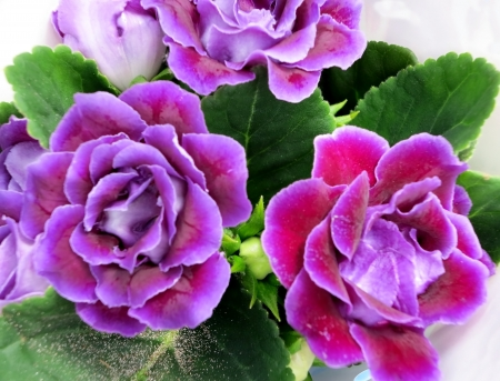 sonata: Decorum plant, purple Brazilian Gloxinia Sonata Stock Photo