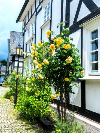 half timbered house: Yellow roses in front of half timbered house Stock Photo