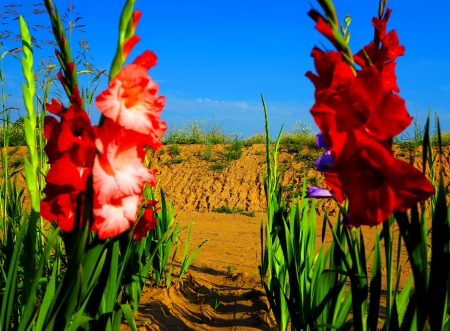 Red gladiolus flowers in the field Stock Photo - 21215297