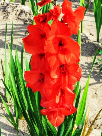 Red gladiolus flowers in the field Stock Photo - 21447058