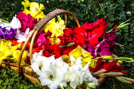 Colorful gladiolus flowers in basket photo