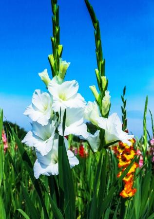 Beautiful white gladiolus flowers on blue sky Stock Photo - 21786616
