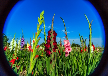 Colorful gladiolus flowers  Stock Photo - 21972477
