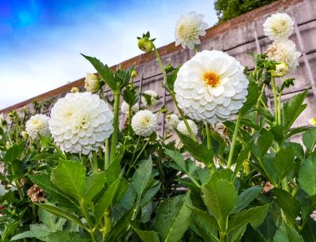 pompon: White pompon dahlias on the stone wall in a garden