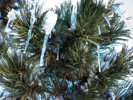 branche pin: Branche de pin enneig? avec des gla?ons