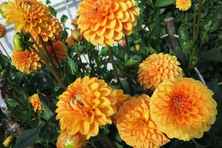 pompon: Yellow and orange pompon dahlias in a garden Stock Photo