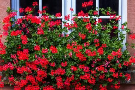 white window: Bright red geranium flowers in front of white window