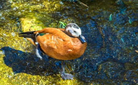 fulvous: African orange duck, Dendrocygna, Fulvous Whistling in a tropical park
