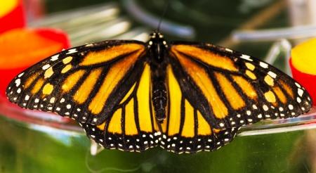 plexippus: Danaus Plexippus butterfly in a tropical park