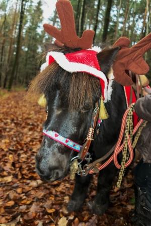 shetland pony: Shetland pony portrait decorated for Christmas