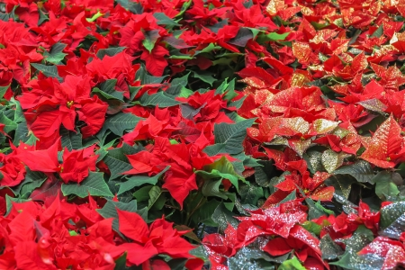 pulcherrima:  Euphorbia Pulcherrima red