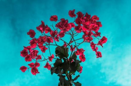 bougainvillea flowers: Red bougainvillea flowers