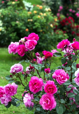 rosebush: Pink roses in a beautiful garden