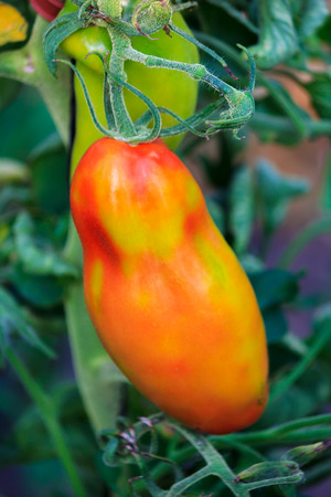 Orange and yellow peppers in a greenhouse photo