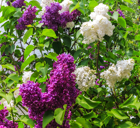 purple lilac: White and purple lilac flowers in a garden