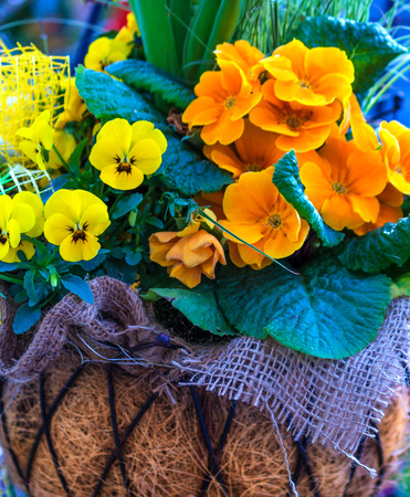 polyanthus: Yellow and orange spring flowers in a hanging basket