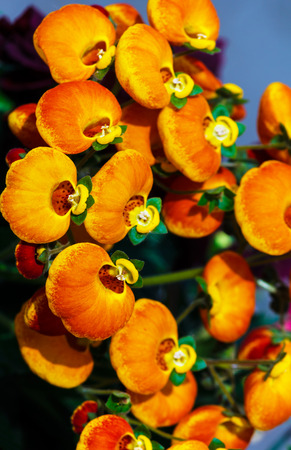 calceolaria: Red and yellow Calceolaria flowers