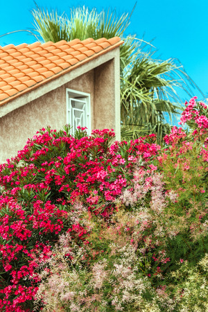 Red and pink oleander up to the roof photo