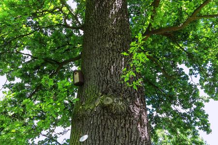 english oak: Old large oak in a park  pedunculate oak quercus robur
