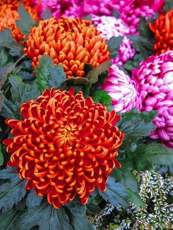 pompon: Orange pompon chrysanthemums