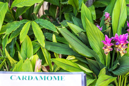 Cardamom plant in tropical garden Stok Fotoğraf
