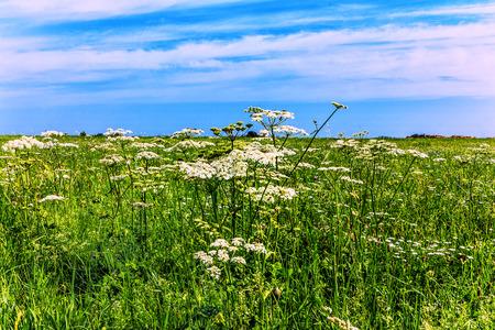 yarrow: White yarrow in green field Stock Photo