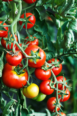 ripening: Ripening tomatoes in a greenhouse